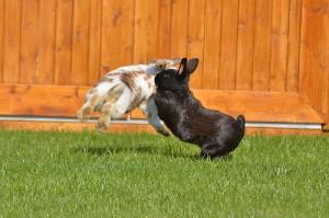 kaninchen-streiten-sich