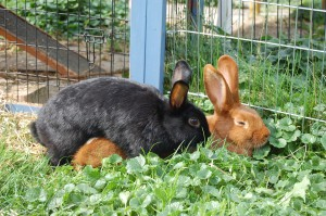 kaninchen vergesellschaftung berammeln sich