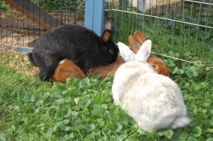 kaninchen vergesellschaftung rammeln