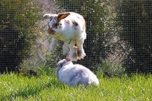 kaninchen-vergesellschaftung