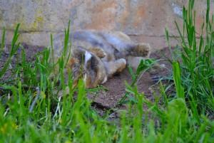 kaninchen-wälzt-sich