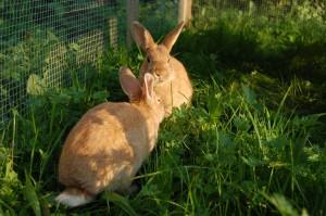 kaninchen wiese