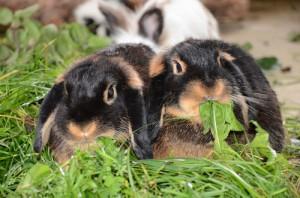 kaninchen-wiese-fuetterung