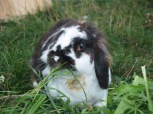 kaninchen-zähne