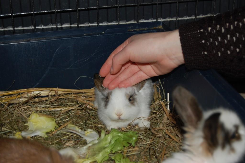 kaninchen zahm jungtier