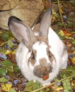 kaninchen-zwetschgen
