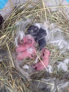kaninchenbabys tag 1