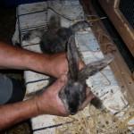 kaninchenbabys2