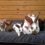 kaninchenmama babys