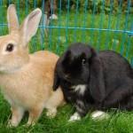 Welche Kaninchenrasse?