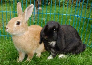 kaninchenrassen stehohr hängeohr