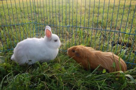 meerschweinchen-kaninchen