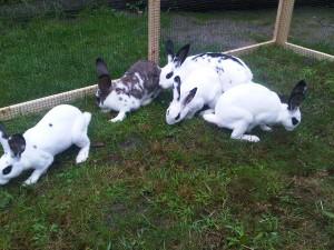 megacolon-kaninchen