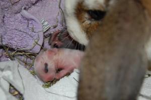 mutter babys kaninchen
