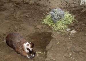 nestbau-kaninchen