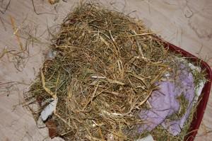 nestbau kaninchenmutter