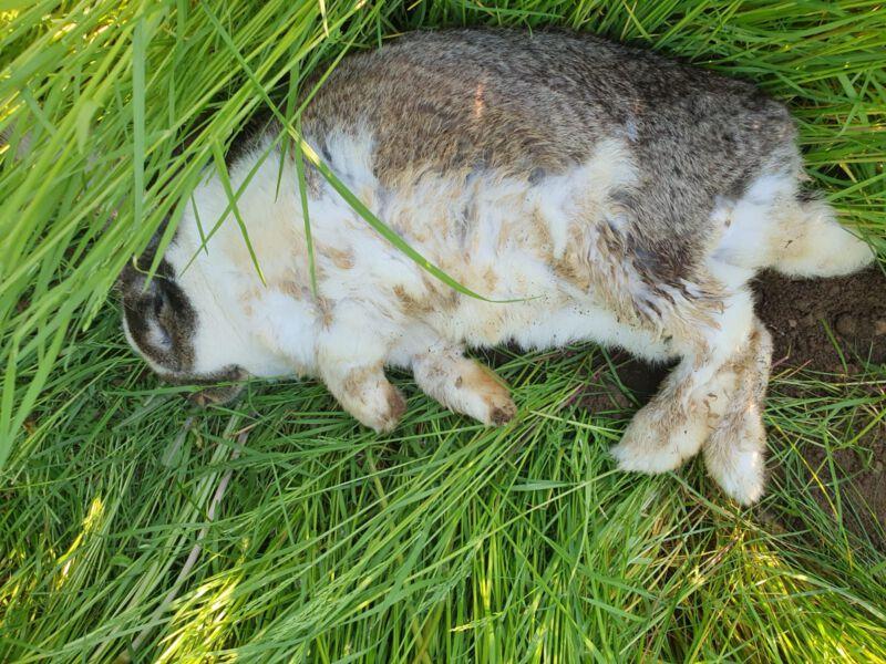 Kaninchen mit verschmutzten Fell