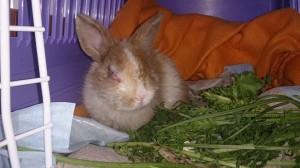 rollied-kaninchen