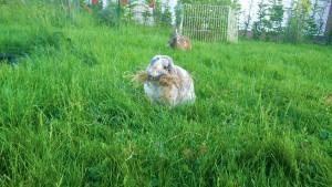 scheinträchtig-hitzig-kaninchen-nestbau
