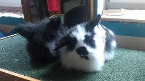 teddy kaninchen