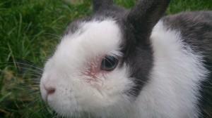 tränende augen kaninchen zahnerkrankung