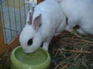 trinken kaninchen