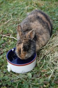 wasser kaninchen durstig