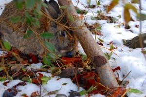 winterernährung-kaninchen