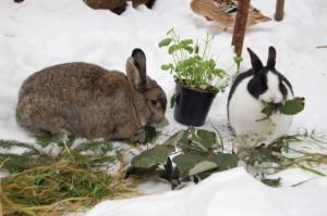 winterfuetterung-kaninchen